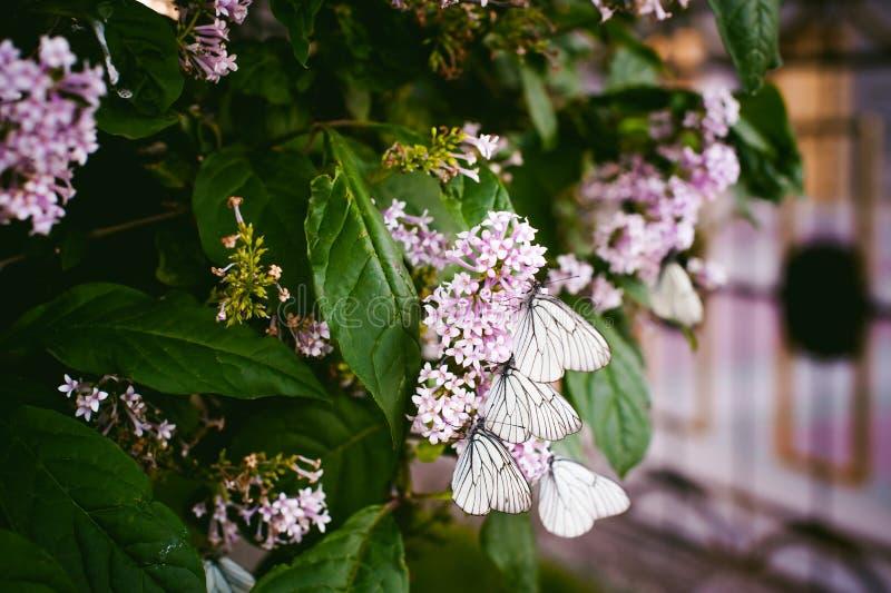 Borboletas brancas em flores das folhas lilás e verdes imagem de stock royalty free