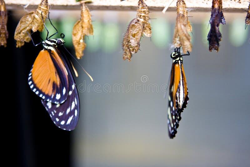Borboletas de monarca foto de stock