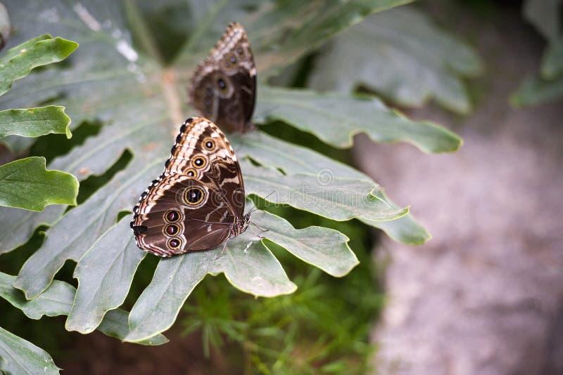 Borboletas de monarca azuis foto de stock