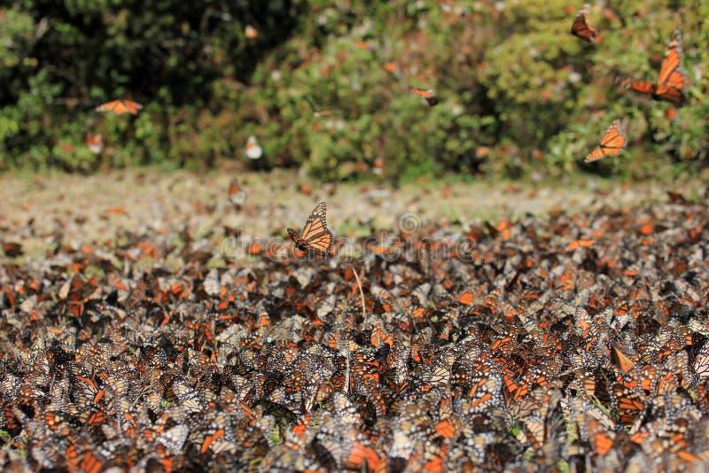 Borboletas de monarca, Michoacan, México fotos de stock