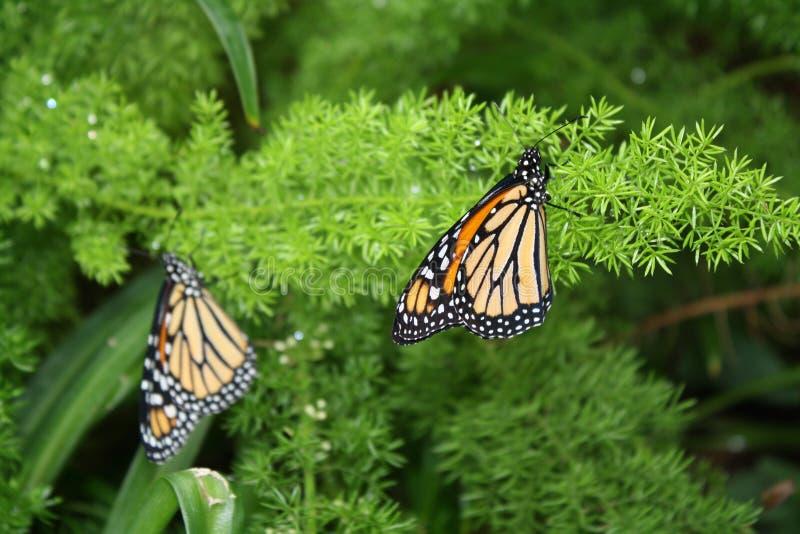 Borboletas de monarca na samambaia fotografia de stock
