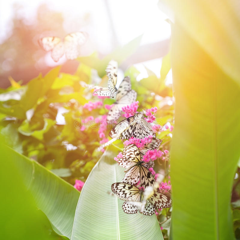 Borboletas de papel do papagaio (ninfa da árvore) que recolhem o néctar das flores cor-de-rosa imagem de stock