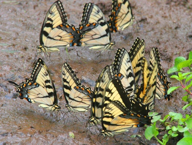 Borboletas de Swallowtail do tigre imagem de stock