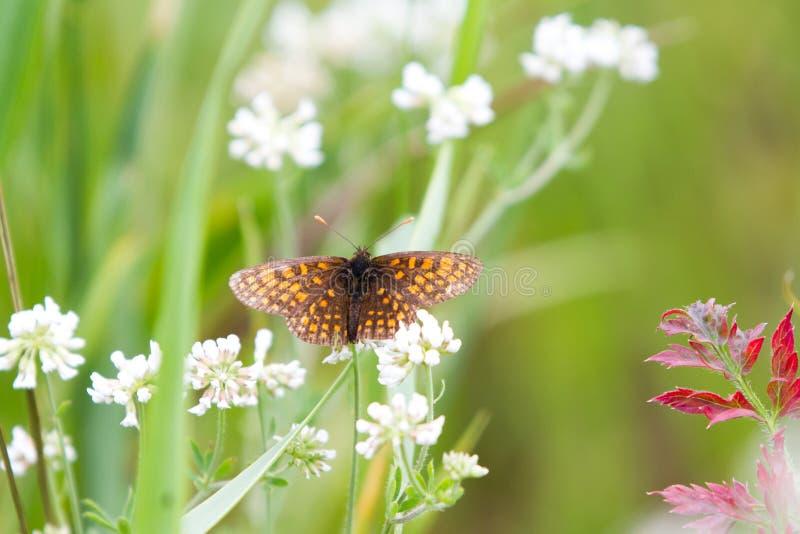 Borboletas elevadas do Fritillary de Brown na flor branca fotografia de stock royalty free