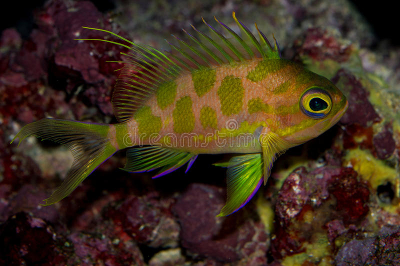 Borbonius Anthias photographie stock