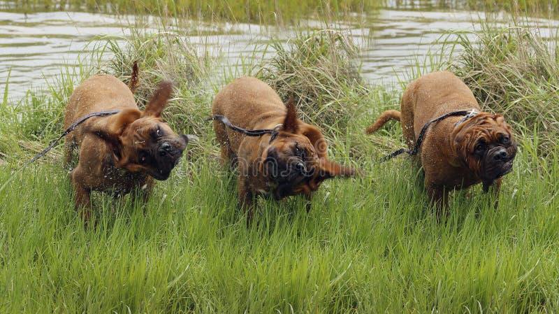 Bordéus Doga - jogando na água imagens de stock royalty free