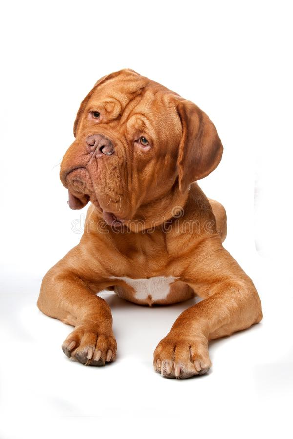 bordów De Dogue francuza mastif zdjęcie stock