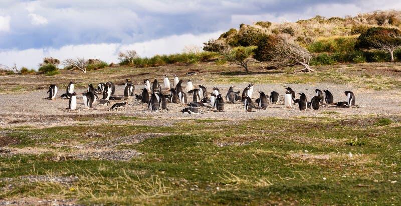 Bord de la mer de colonie de pingouins de roi et de la Papouasie image libre de droits