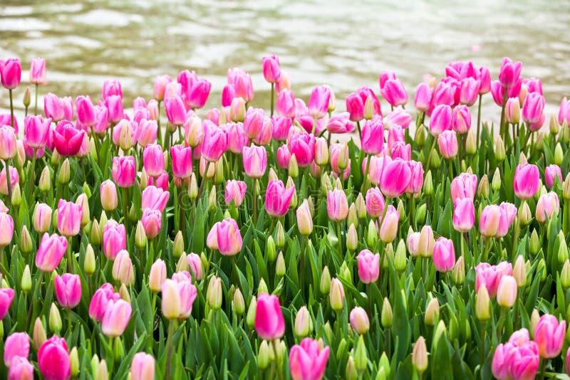 Bord de lac rose de tulipes images stock