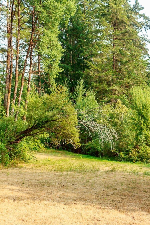 bord vert grand de forêt près de jaunir le champ sec de l'herbe et des mauvaises herbes photos stock