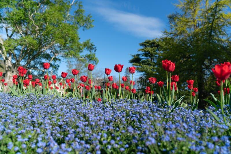 Borda azul da flor das tulipas vermelhas foto de stock royalty free