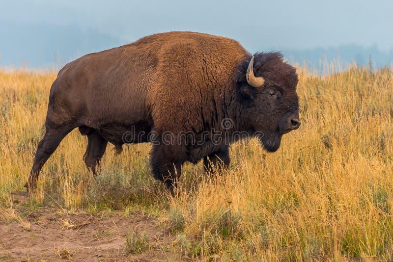 Borda da estrada Bison Yellowstone National Park fotografia de stock royalty free