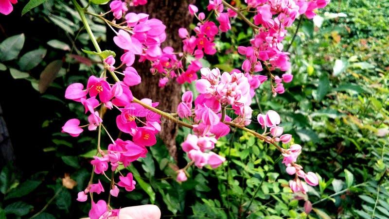borda da estrada cor-de-rosa da flor fotos de stock