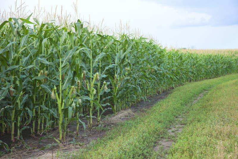 Borda de um campo de milho midwestern foto de stock