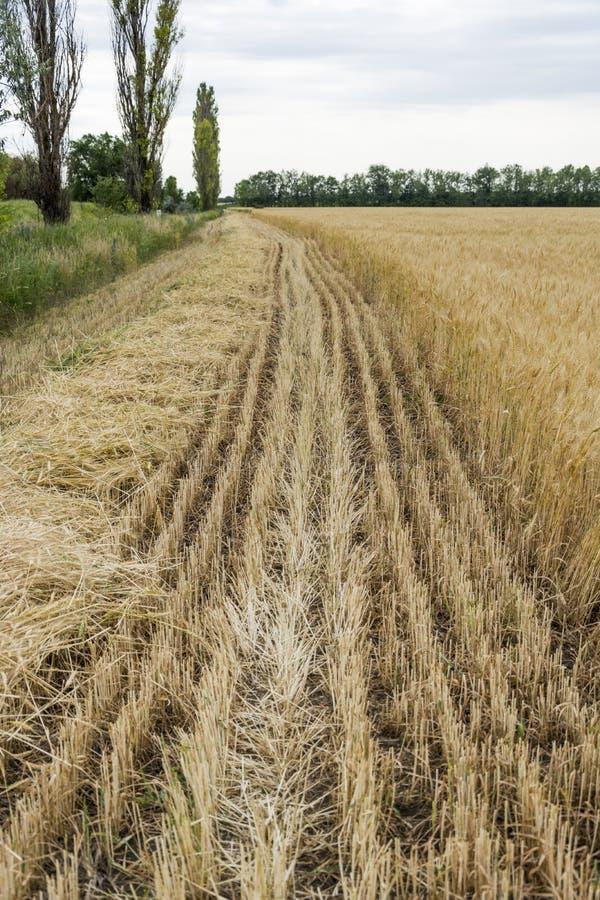 A borda do campo com a colheita de grão amadurecida, com um centeio ou uma cevada chanfrada, para a segurança purposes do fogo foto de stock royalty free