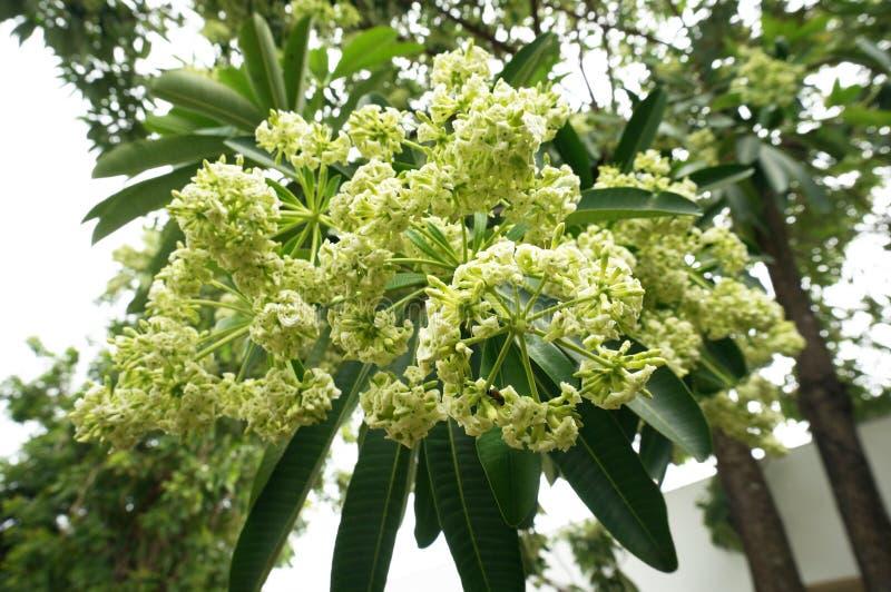 Bordboom, Duivelsboom, bloemen de pali-Mari-Republiek royalty-vrije stock foto