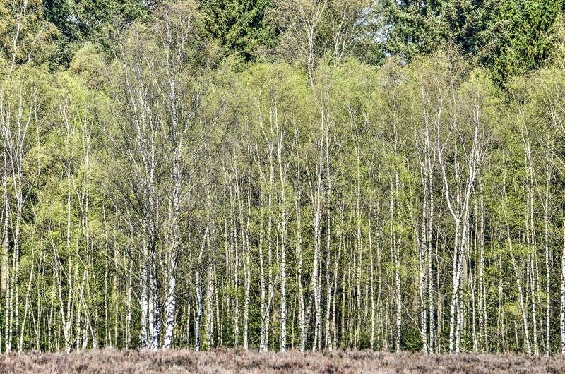 Borde del bosque del árbol de abedul fotografía de archivo libre de regalías