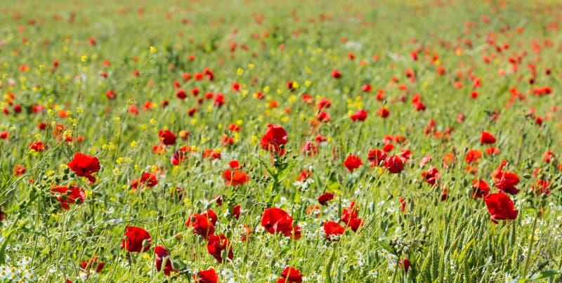 Borde del campo con las amapolas y la manzanilla florecientes fotografía de archivo libre de regalías