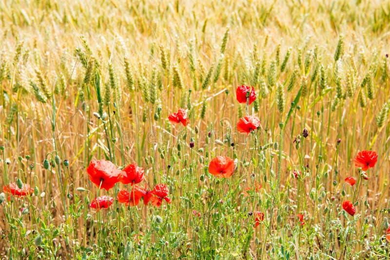 Borde del campo en verano con las amapolas florecientes foto de archivo libre de regalías