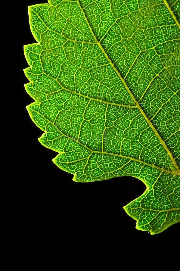 Borde verde de la hoja foto de archivo libre de regalías