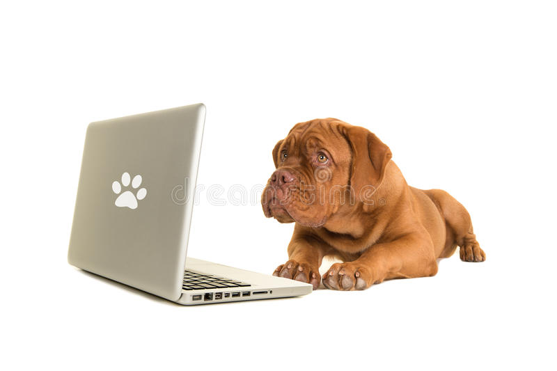 Bordeaux dog puppy lying on the floor looking at a labtop royalty free stock photography