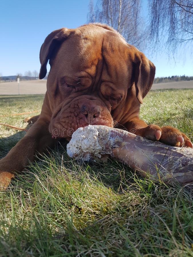 Bordeaux hund arkivfoto