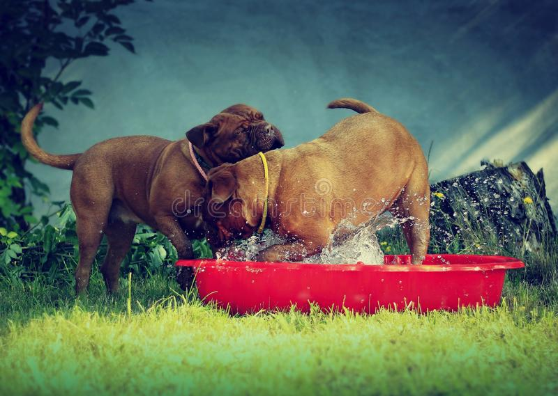 Bordeaux mastiff dogs. Playing with water - little red pool stock photography