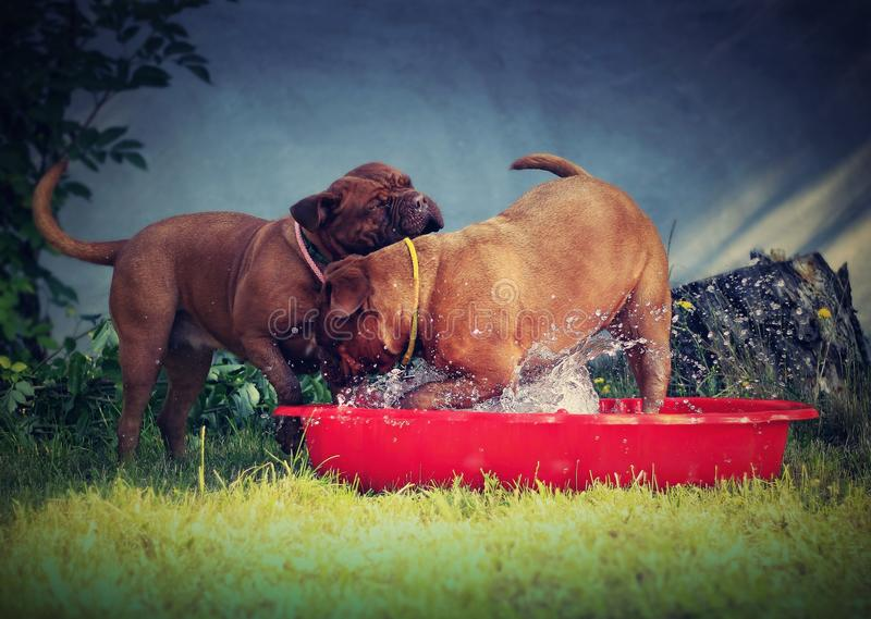 Bordeaux mastiff dogs. Playing with water - little red pool stock photo