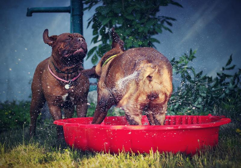 Bordeaux mastiff dogs. Playing with water - little red pool stock images