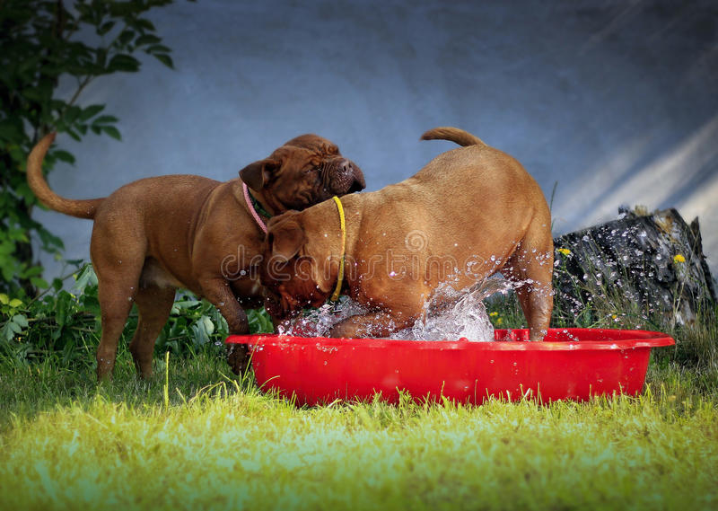 Bordeaux mastiff dogs. Playing with water - little red pool royalty free stock photos