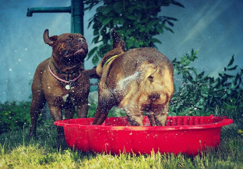 Bordeaux mastiff dogs. Playing with water - little red pool royalty free stock photography