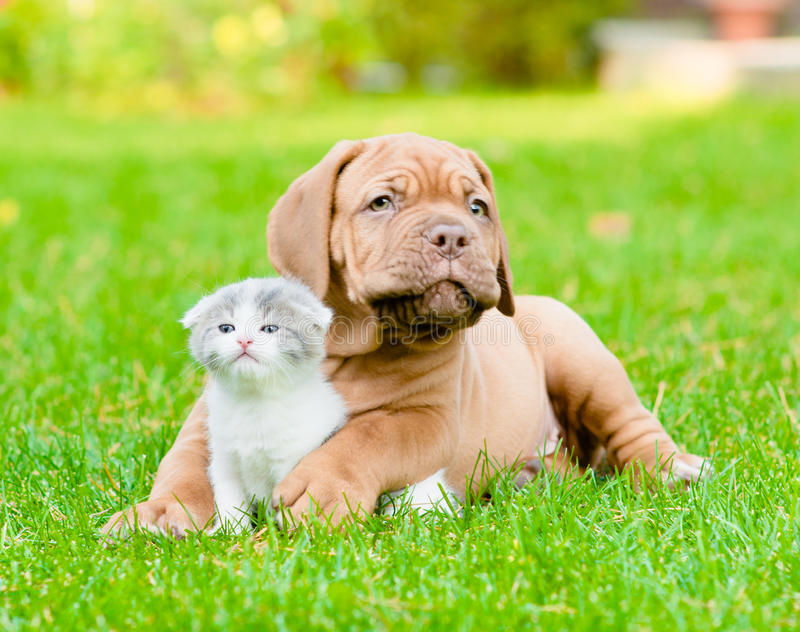 Bordeaux puppy dog with newborn kitten on green grass royalty free stock photos