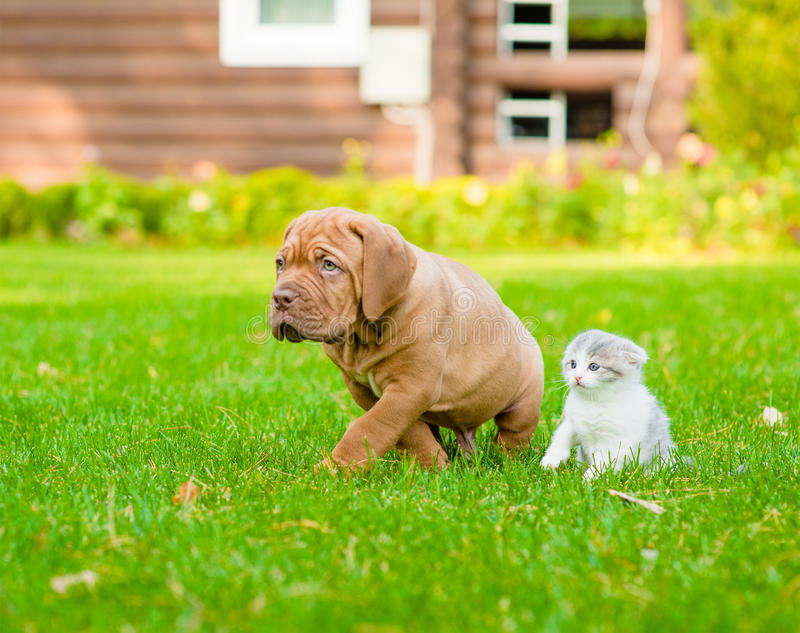 Bordeaux puppy dog and newborn kitten walking together on green grass stock image