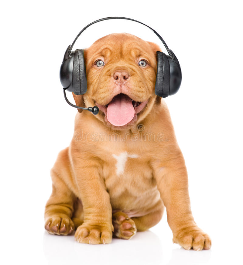 Bordeaux puppy dog with phone headset. isolated on white stock image