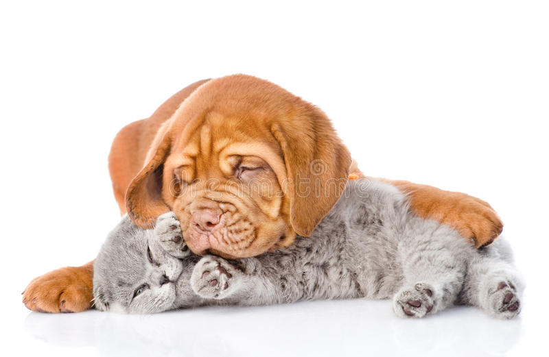 Bordeaux puppy dog playing with a scottish cat. isolated on white royalty free stock photography