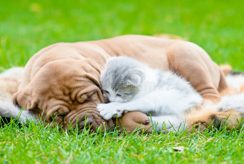 Bordeaux puppy dog sleep with newborn kitten on green grass stock images