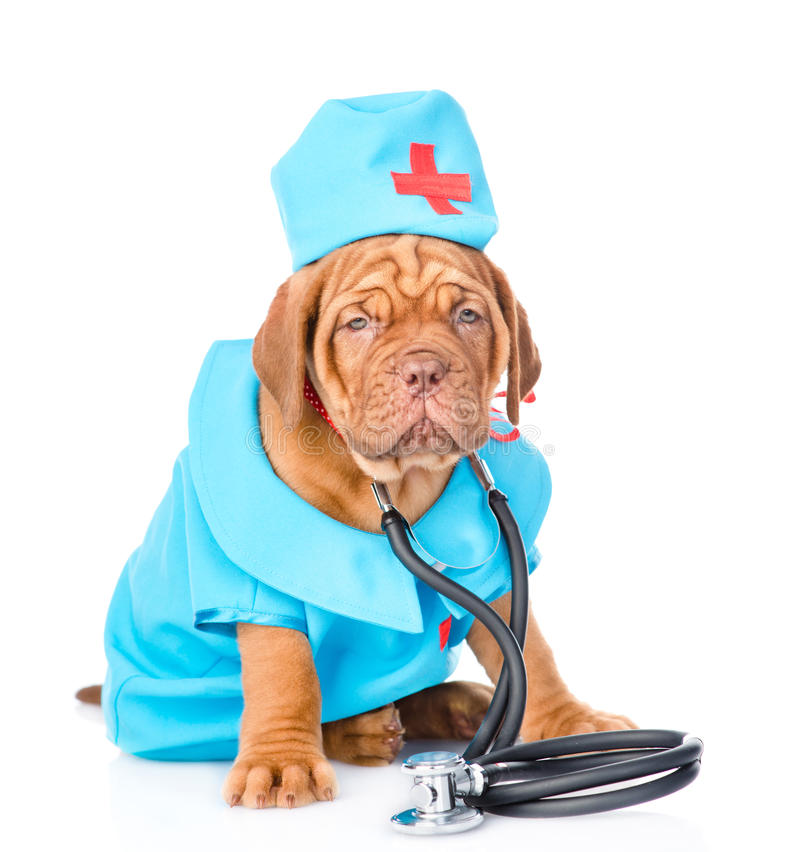 Bordeaux puppy dressed in clothes doctor with stethoscope. isolated stock photo