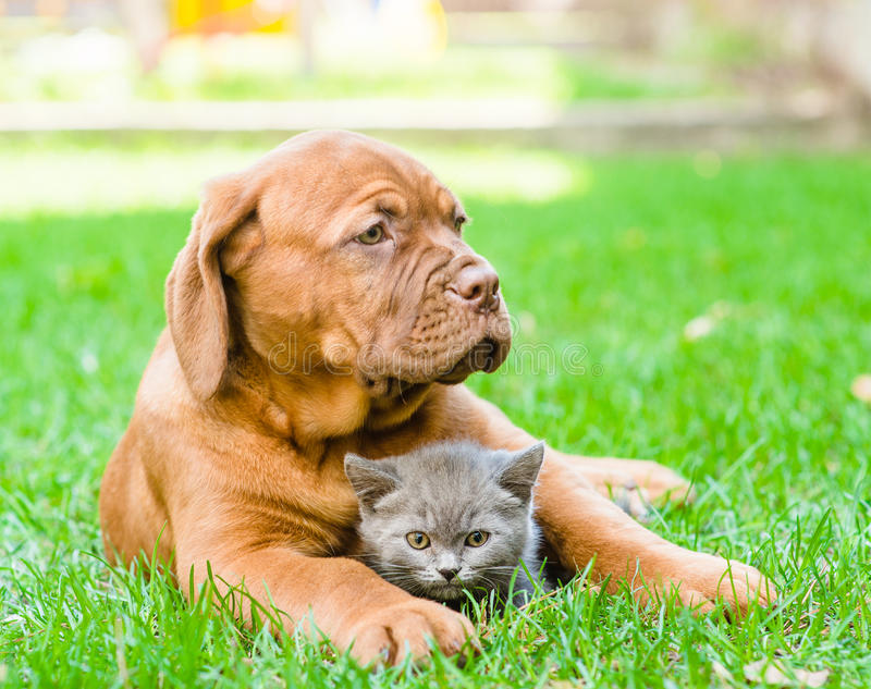 Bordeaux puppy hugging a kitten on the green grass. Focus on cat stock images