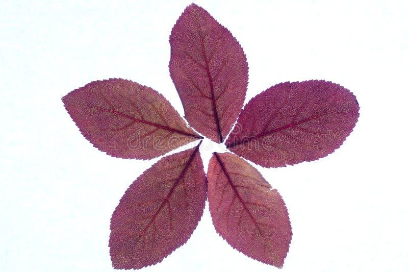 Bordeauxbladeren die een ster vormen royalty-vrije stock foto