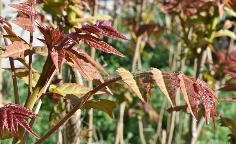 Bordeauxbladeren in een zonnige dag stock fotografie