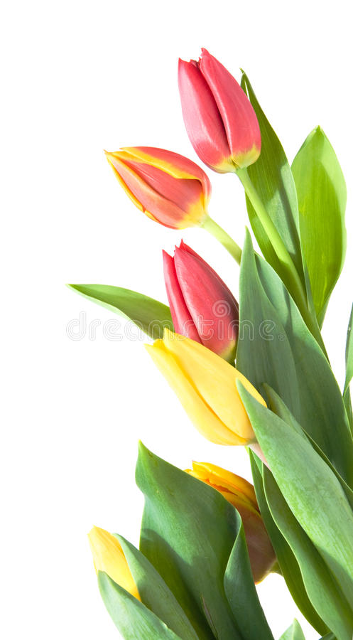 Border. Of yellow, variegated and red tulips isolated on white stock image