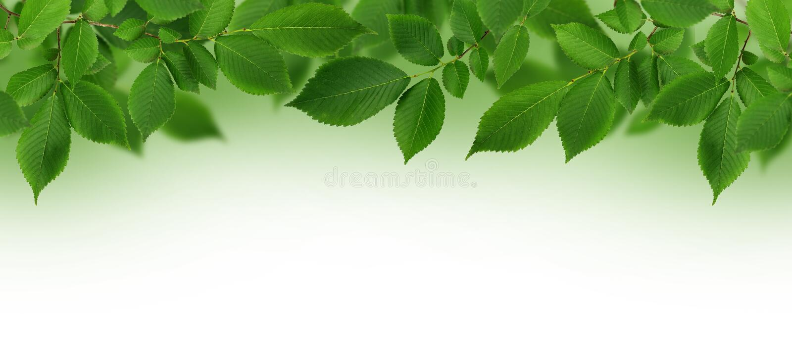 Border with branch of fresh green elm-tree leaves for background royalty free stock photo