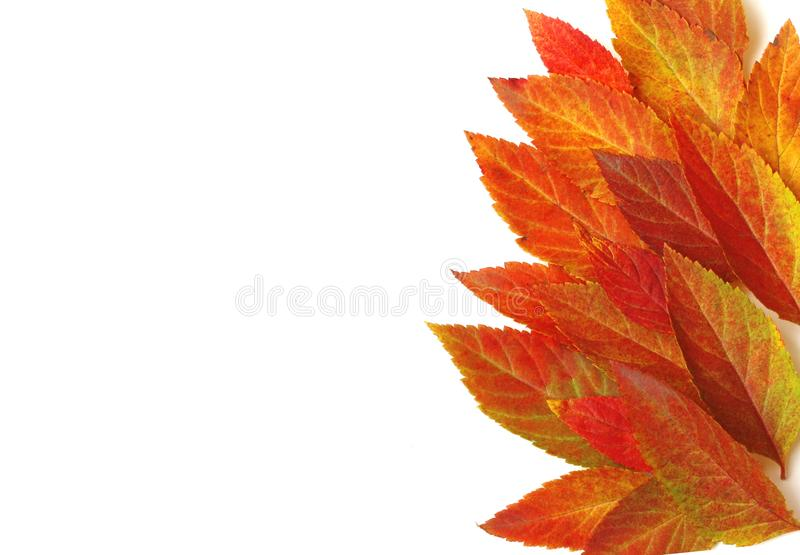 Border of bright colorful autumn leaves, white background royalty free stock photo