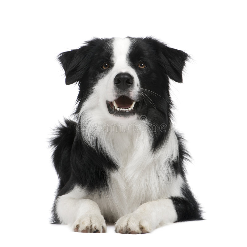 Border Collie (15 months) stock photo