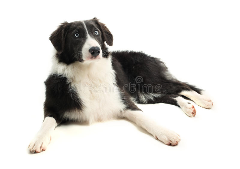 Download Border Collie stock photo. Image of look, white, young - 15668884