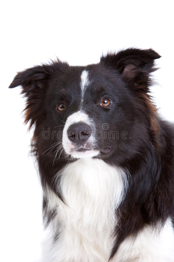 Download Border collie stock image. Image of isolated, attentive - 16818031