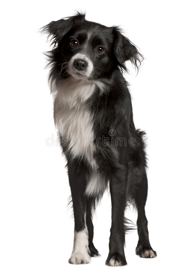 Border collie, 2 years old, standing royalty free stock photo