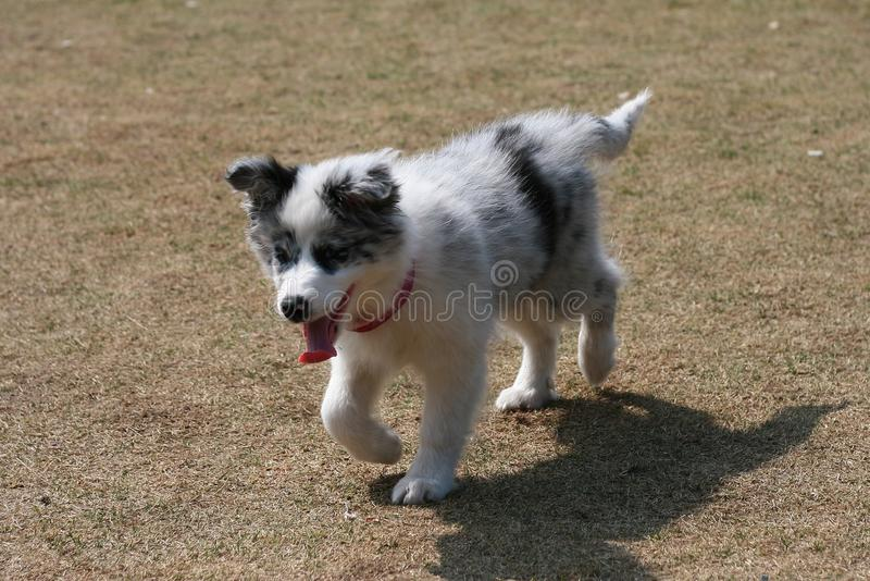 Download Border Collie Royalty Free Stock Image - Image: 23505476