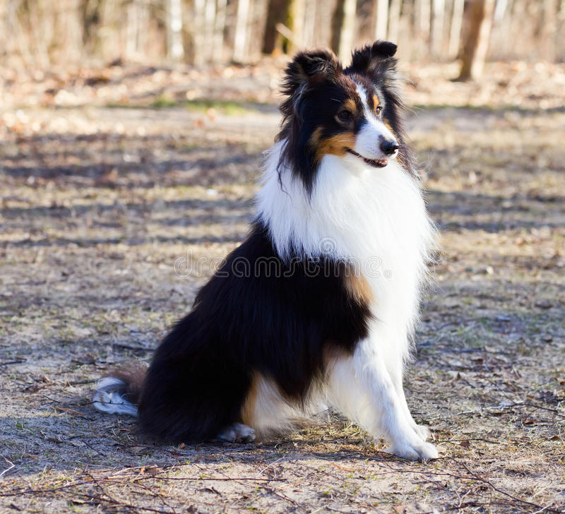 Download Border Collie stock image. Image of young, waiting, white - 24117037
