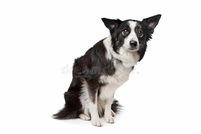 Download Border Collie stock image. Image of background, pedigree - 24481009